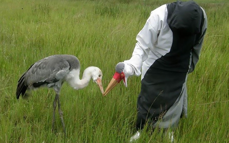 Feeding a baby wattled crane in an innovative way; without protection our cranes would disappear