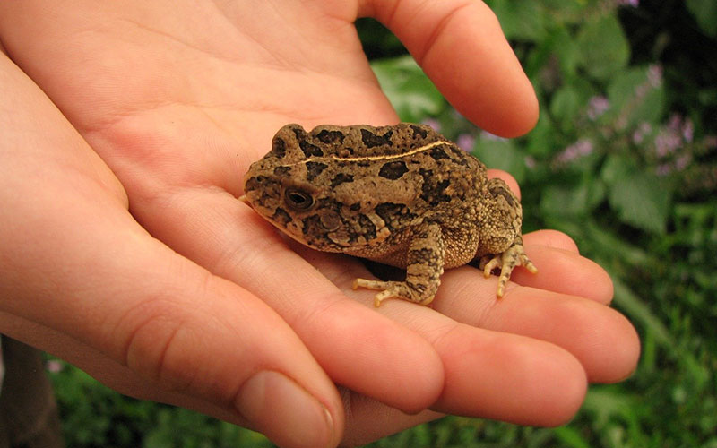 Not many of us know that frogs are one of the most endangered vertebrates