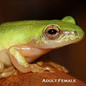 Pickersgill's Reed Frog Conservation